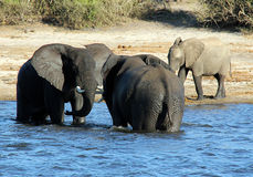 Dueling Elephants Stock Image