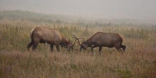 Dueling elks Royalty Free Stock Photo