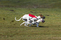 Dueling race hounds Royalty Free Stock Photos