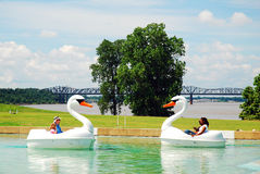 Dueling Swans Stock Image