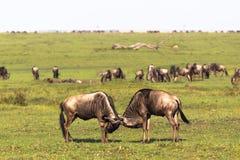 Duell des Mannes mit zwei Gnus Savanne des Masais Mara Kenia, Afrika lizenzfreie stockfotografie