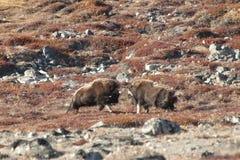 Duell för myskoxe - Grönland Royaltyfri Foto
