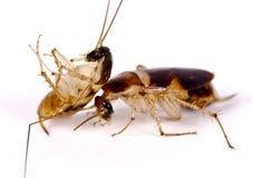 Duellera kackerlackor, plåga, ohyra fotografering för bildbyråer