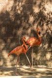 Duellflamingo i rosa färger fotografering för bildbyråer