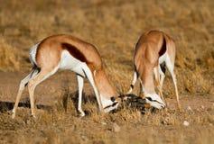 Duelling springboks. Two springbucks duelling in the kalahari Stock Images