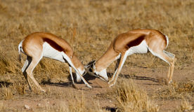 Duelling springboks. Two springbucks duelling in the kalahari Royalty Free Stock Photos