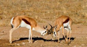 Duelling springboks. Two springbucks duelling in the kalahari Stock Photo