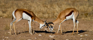 Duelling springboks. Two springbucks duelling in the kalahari Stock Photography