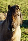 Duelmener Wild Horse Royalty Free Stock Photography