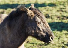 Duelmener Wild Horse Royalty Free Stock Photos