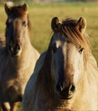 Duelmener Wild Horses Royalty Free Stock Images