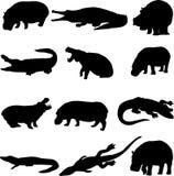 Duelo da besta: Hipopótamos e crocodilos Imagens de Stock