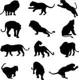 Duelo da besta: o leão e o tigre Imagens de Stock
