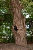 Duende viejo del árbol con una depresión. Foto de archivo libre de regalías
