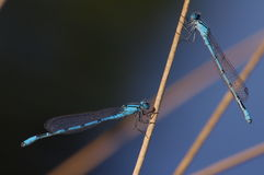 Duet of blue dragonflies Royalty Free Stock Image