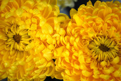 Duet of chrysanthemums. Bright paints of autumn are chrysanthemums Stock Images