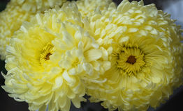 Duet of chrysanthemums. Bright paints of autumn are chrysanthemums Royalty Free Stock Image
