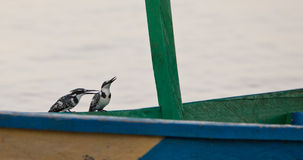 The Duet of the Pied Kingfishers Royalty Free Stock Images
