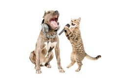 Duet of pitbull and cat Scottish Straight singing together. Isolated on a white background royalty free stock images