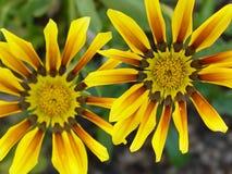 Dueto amarelo listrado da flor fotografia de stock
