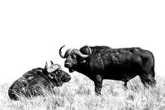 Dueto do búfalo Imagem de Stock Royalty Free