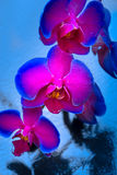 Duetu koloru orchidea Obrazy Stock
