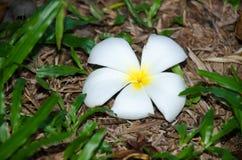 Duft der Plumeriablume in voller Blüte gepflanzt im Garten Lizenzfreies Stockfoto
