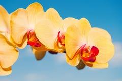 Duft und Frischekonzept Blume mit frischer Blüte auf blauem Himmel Blühende Orchidee mit den gelben Blumenblättern auf sonnigem lizenzfreie stockbilder