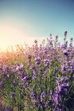 Duftendes Lavendelblumenfeld unter blauem Himmel Lizenzfreies Stockbild