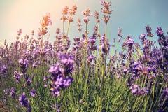Duftendes Lavendelblumenfeld unter blauem Himmel Stockbilder