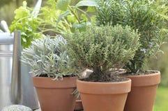 Duftpflanze eingemacht in einem Garten Lizenzfreie Stockfotografie