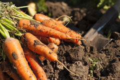 Dug carrots Royalty Free Stock Photo