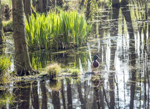 Dug in famous swamp area in usedom Royalty Free Stock Image