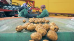 Dug-out de aardappels vallen van de vervoerder na het sorteren Het oogsten Concept stock videobeelden