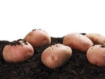 Dug potatoes on the ground Royalty Free Stock Image