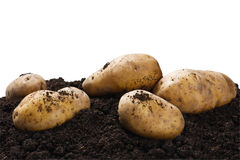 Dug potatoes on the ground on a white Royalty Free Stock Images