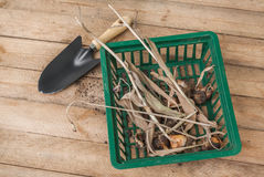 Dug tulip bulbs after the end of the growing season in the baske Royalty Free Stock Photos