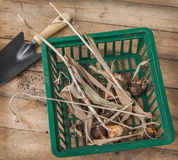 Dug tulip bulbs after the end of the growing season in the baske Stock Photography