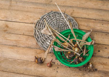 Dug tulip bulbs after the end of the growing season in the baske Royalty Free Stock Image