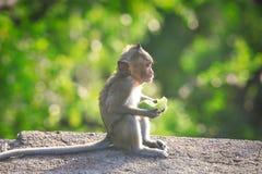 długo makak śledzić Zdjęcia Stock