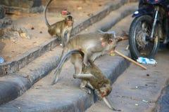 długo makak śledzić Zdjęcia Royalty Free