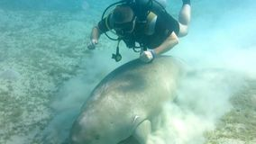 Dugon de Dugong almacen de video