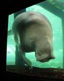 Dugong摆在 免版税库存照片