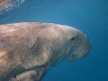 Dugong που κολυμπά στη θάλασσα Στοκ Εικόνες