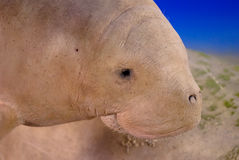 Dugong. Sea cow (Dugong dugong)a large marine mammal which, together with the manatees, is one of four living species of the order Sirenia Stock Photography