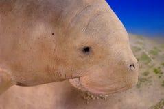 dugong Στοκ Φωτογραφία