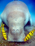 Dugong Stock Photo