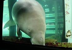 Dugong吃 图库摄影