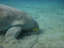 Dugong, die auf dem Meeresgrund essen stockfotografie