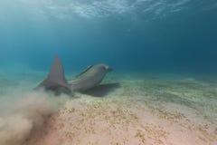 Dugong (dugon de dugong) ou seacow en Mer Rouge. photographie stock libre de droits